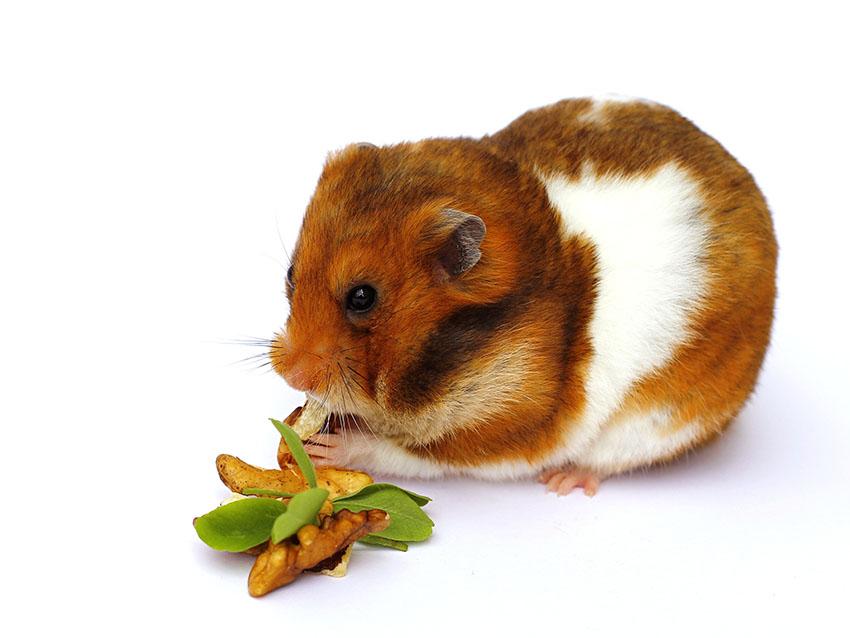 perte de poids chez les hamsters nains perte de graisse après épuisement du glycogène