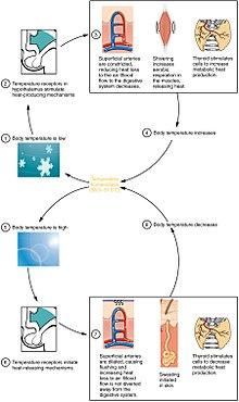 régulation de la température corporelle de perte de poids