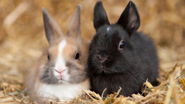 perte de poids de lapin domestique hémochromatose de perte de poids