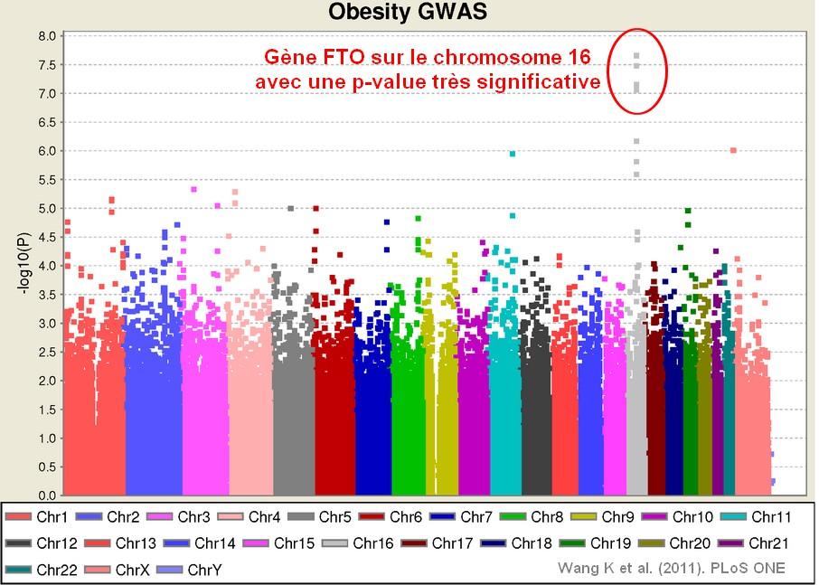 Maigrir ou grossir, c'est dans les gènes?