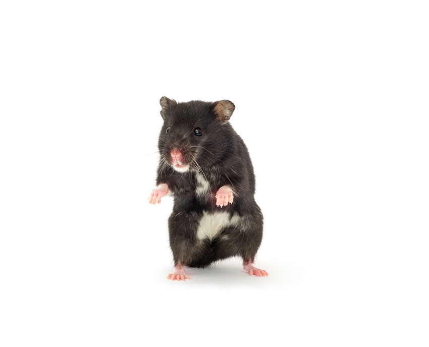 perte de poids chez les hamsters nains perte de poids de la sciatique