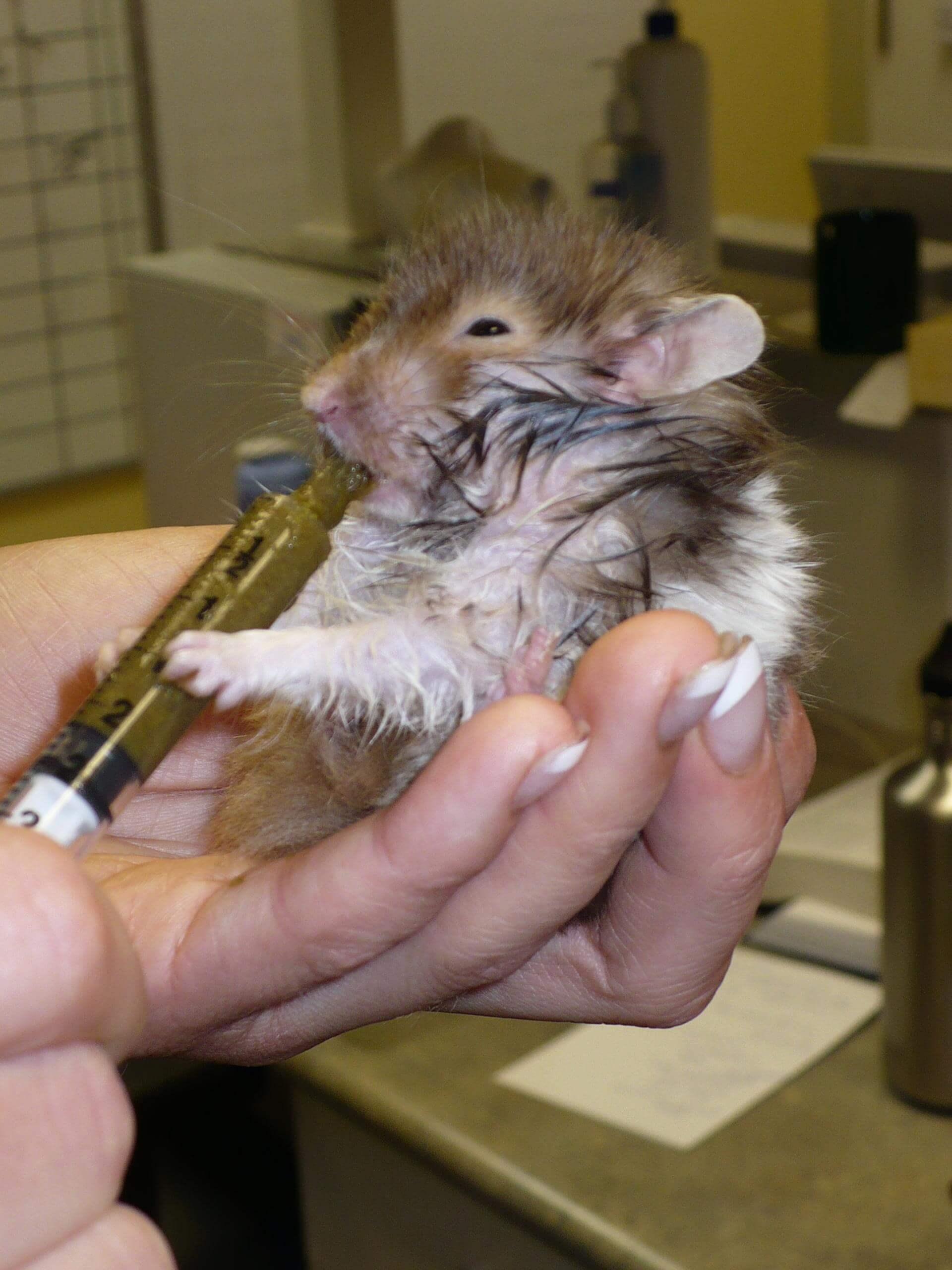 Prendre soin de son hamster | Conseil Vétérinaire