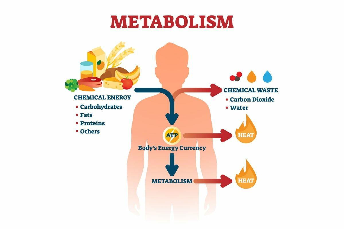 utiliser le taux métabolique au repos pour perdre du poids