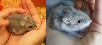 Quelle sont les symptôme d'un hamster qui vieillit ? - Forum Hamster - Hamster - Wamiz