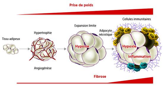perte de poids et cellules graisseuses