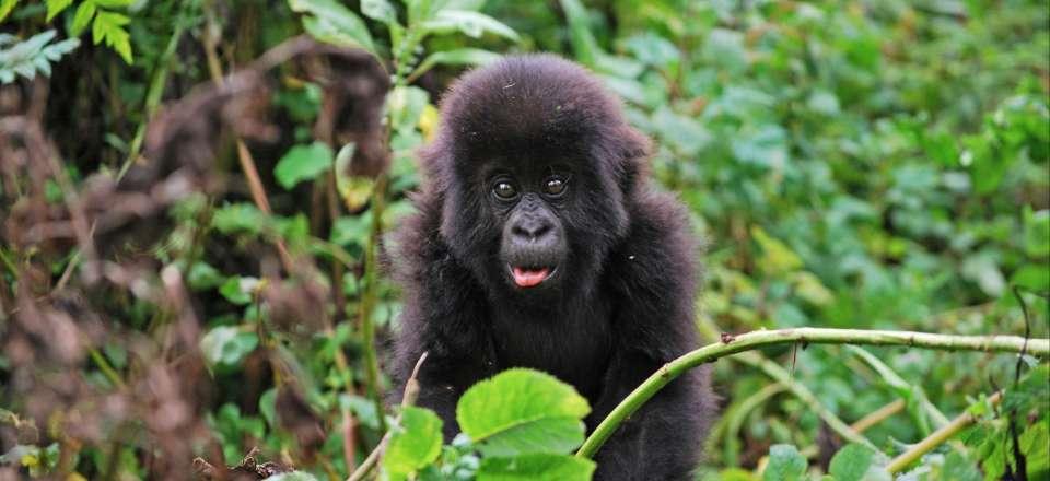 perte de poids de gorille