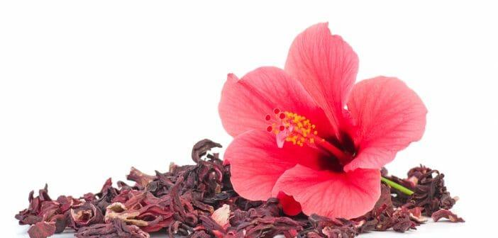 hibiscus perdre du poids