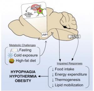 Enzymes digestives pour prendre de la masse et perdre du gras.