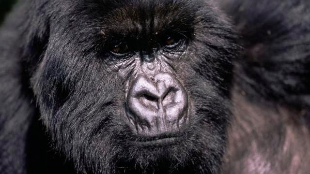 Le gorille, un grand singe en danger | WWF France