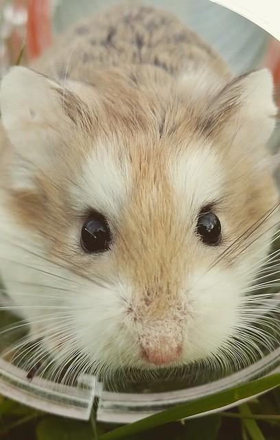 Mon hamster est obèse. Comment le faire maigrir ?
