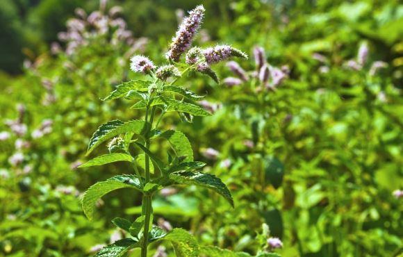 pengalaman minum corps mince à base de plantes
